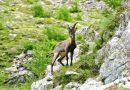 Alpensteinböcke in Österreich ausgewildert